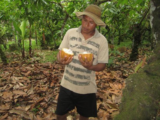 Tinamou Cottages: Fresh cocoa picked off the tree
