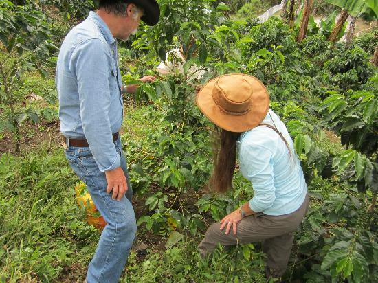 Hacienda Primavera Wilderness Ecolodge: harvesting coffee