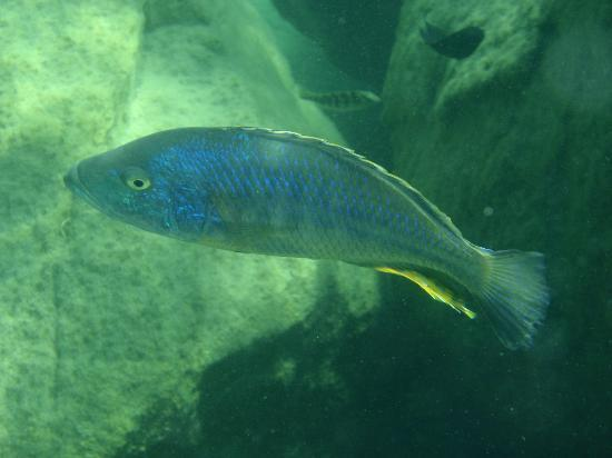 Kaya Mawa: Cichlids from Lake Malawi