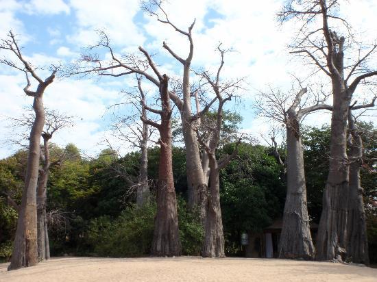 Kaya Mawa: Baobab trees