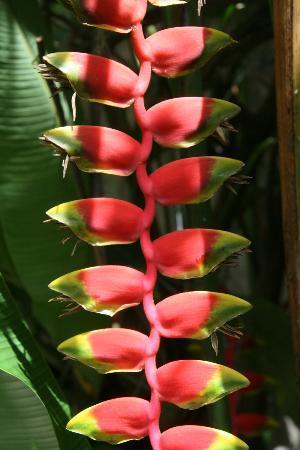 The Allamanda: Flora