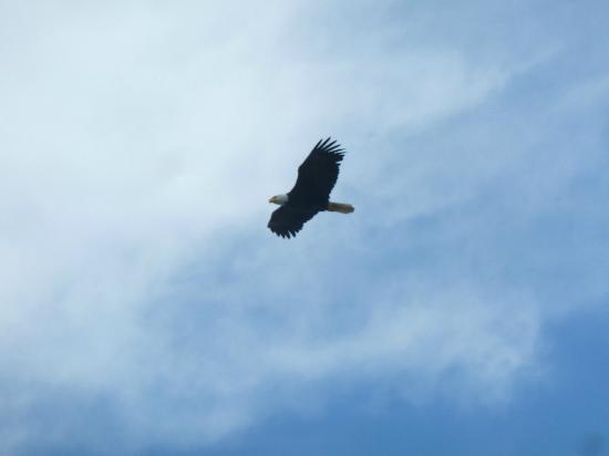 Sea Cliff Gardens: Eagles everywhere!!