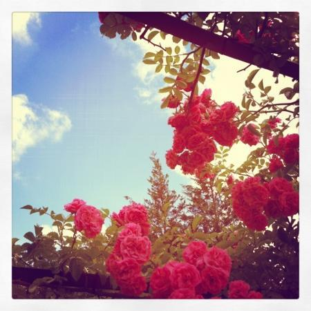 Bokka no Sato: 7月のバラ園