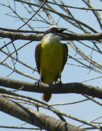Santa Ana National Wildlife Refuge: Great Kiskadee at Santa Ana NWR