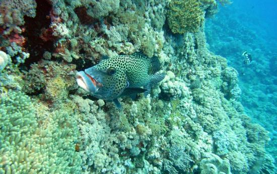 Layang Layang Island Resort: Grouper at a cleaning station