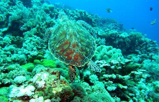 Layang Layang Island Resort: turtle over reef