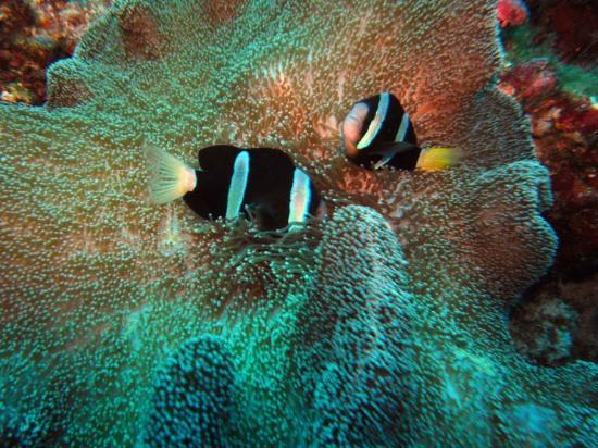 Avillion Layang Layang: clown fish in sea anemone