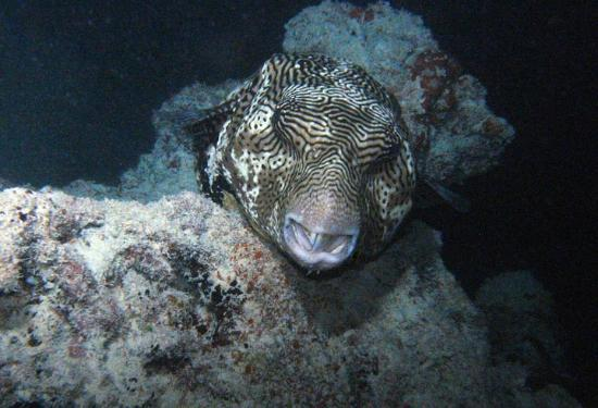 Avillion Layang Layang: Sleeping puffer fish on night dive at dock