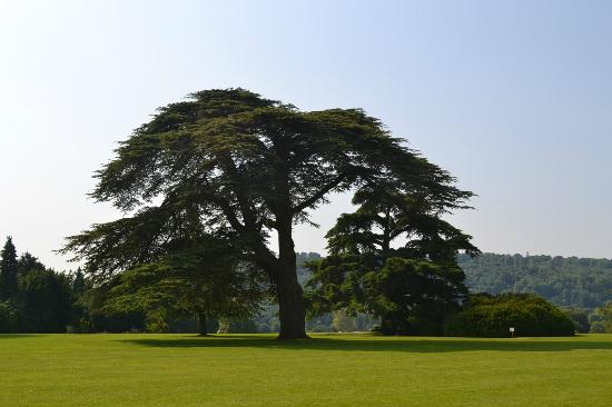 Newbury, UK: Splendid Cedar tree