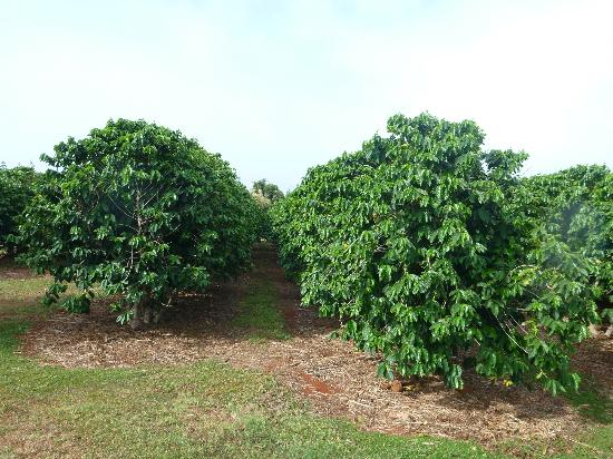 Kalaheo, Гавайи: The coffee plants from the self guided tour
