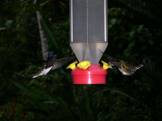 Tree Houses Hotel Costa Rica: Hummingbirds
