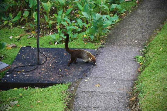 Arenal Observatory Lodge & Spa: Coati