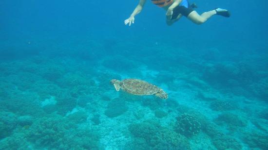Apo Island Marine Reserve : The sea turtles here are tame