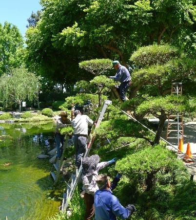 Earl Burns Miller Japanese Garden: Delicate art of trimming black pine trees