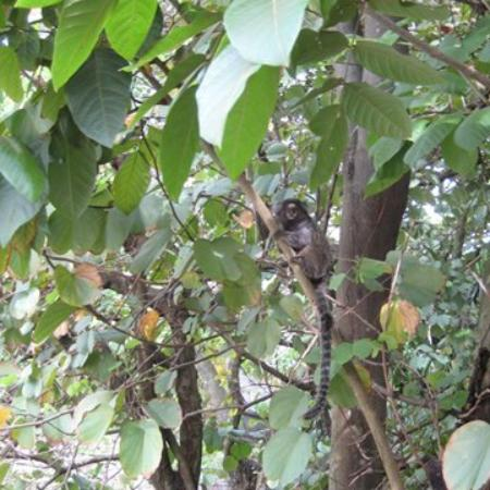 Casa Cool Beans B&B: Monkeys In Our Tree Above The Pool