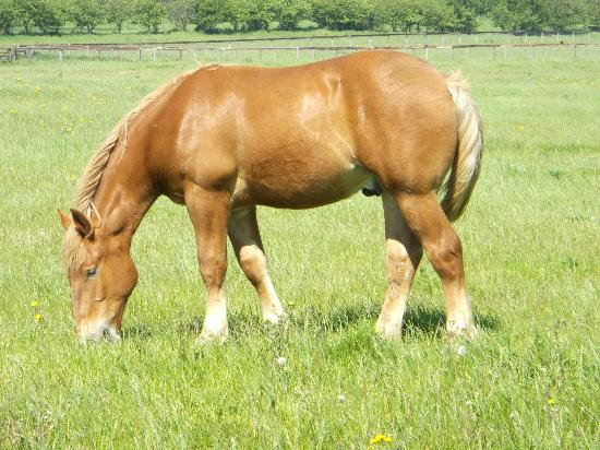 Suffolk Punch Trust: yearling