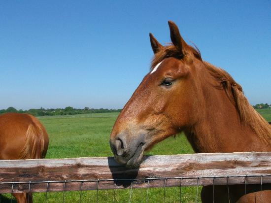 Suffolk Punch Trust: friendly youngster