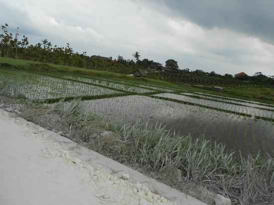 Homestay Bali Starling: rijstveld op de weg naar Echobeach