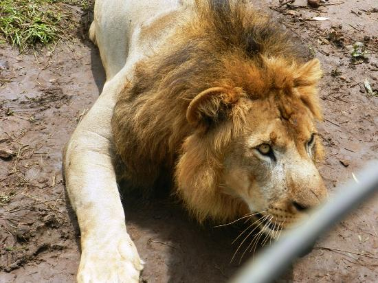 Shimoga, India: 2yrs old Lion