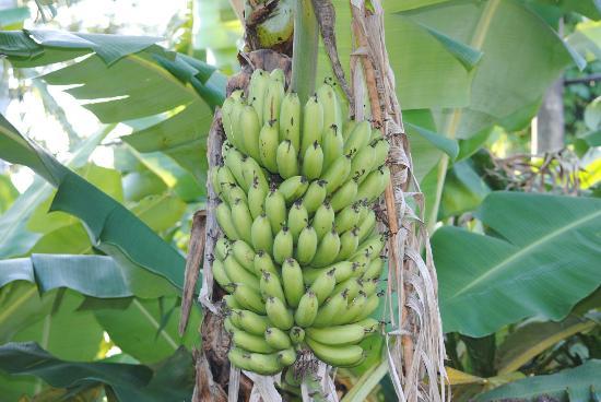 Vista Linda Montaña: Bananenfrucht im Garten