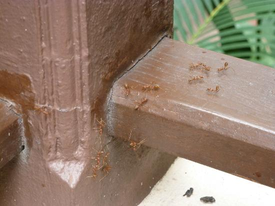 Samui Sense Beach Resort: fourmis rouges sur la terrasse