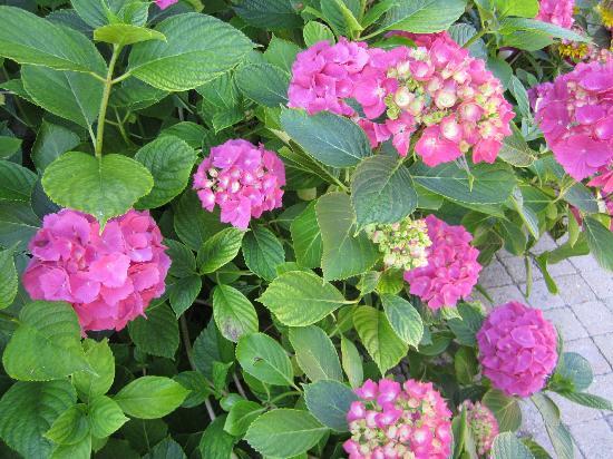Le Grand Clos de Saint Martin : Détail des magnifiques hortensias