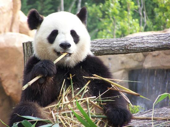 ZooParc de Beauval: Huan Huan (Panda Femelle)
