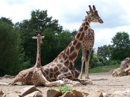 Saint-Aignan, France : Girafes