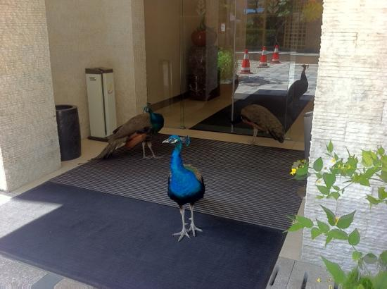 L'otel: there are three resident peacocks that live on the grounds. they are friendly.