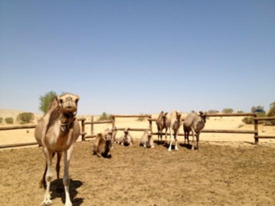 Negev Camel Ranch: Pick me!