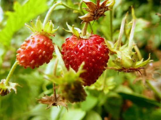 Ardara House Bed & Breakfast: Some strawberries growing in the Garden!