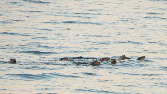 Yellow Point Lodge: Friendly otter family