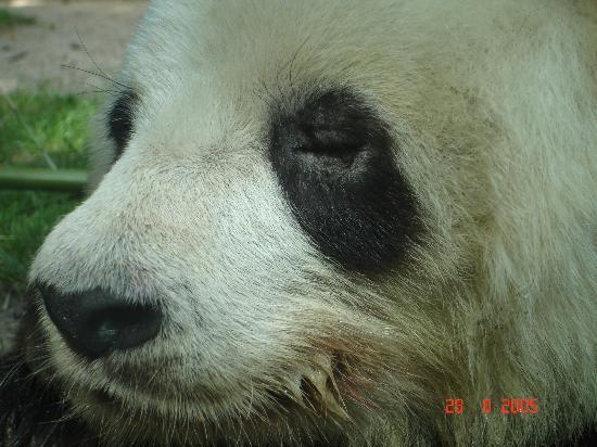Zoologischer Garten (Berlin Zoo): Panda