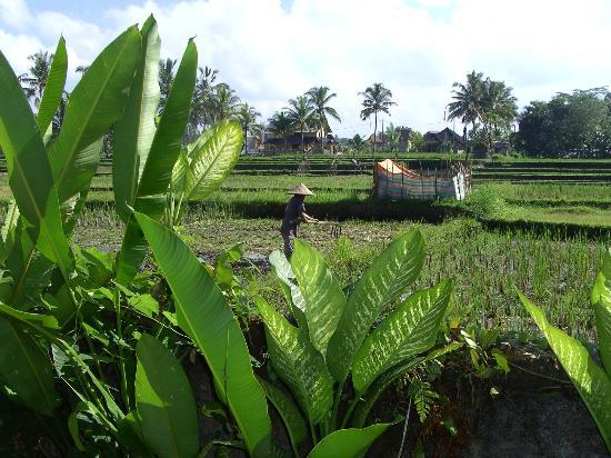 Nirwa Ubud Homestay: Boer aan het werk