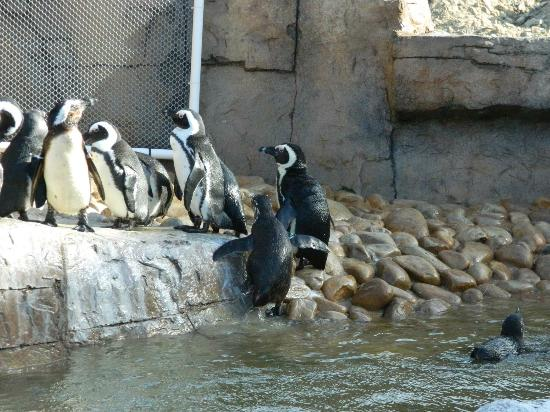 South African Marine Rehabilitation and Education Centre: Penguins line up for feeding.
