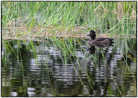Highland Wildlife & Birdwatch Safaris : Duck