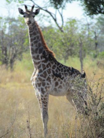 andBeyond Xaranna Okavango Delta Camp: Giraffe