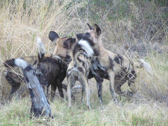 andBeyond Xaranna Okavango Delta Camp: African Wild Dogs