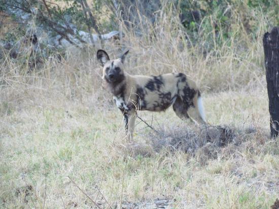 andBeyond Xaranna Okavango Delta Camp: African Wild Dog