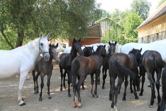 Spanische Hofreitschule Bundesgestut Piber: Mares and foals at the Piber Stud Farm
