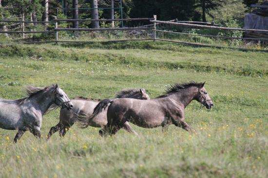 Spanische Hofreitschule Bundesgestut Piber: Young stallions in the mountains