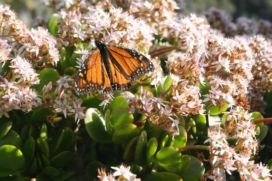 Whangarei Quarry Gardens: Monarch butterfly