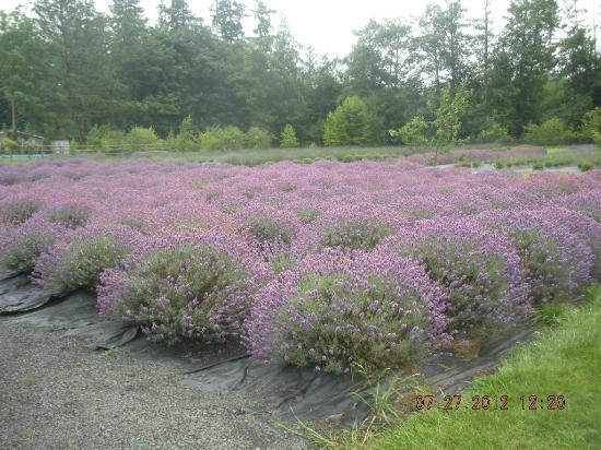 Sunshine Herb and Lavender Farm: lavender