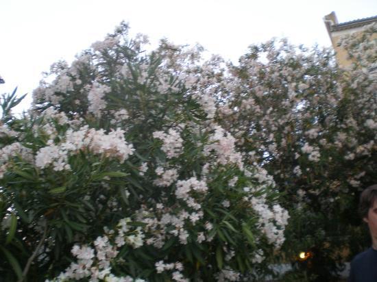 Hotel Paradis : lauriers fleuris du jardin