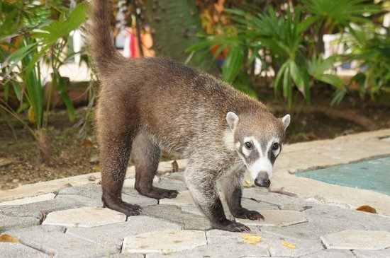 Sandos Playacar Beach Resort: Coati near Hacienda's