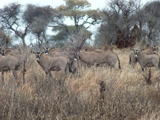 Tarangire Safari Lodge : Oryx, in the southern part of park, beautiful!