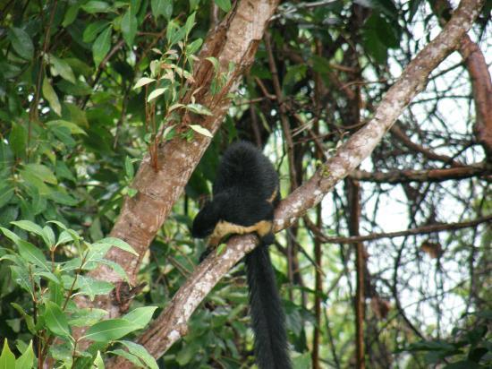 Sari Village Holiday Homes: Rare giant squirrel