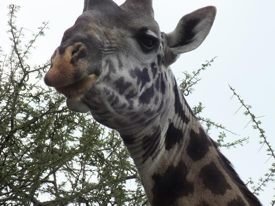 Tarangire Safari Lodge : Twiga, one of my favourite creatures