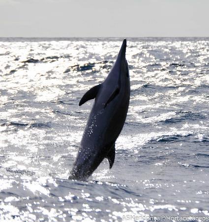 HortaCetáceos : Common Dolphin