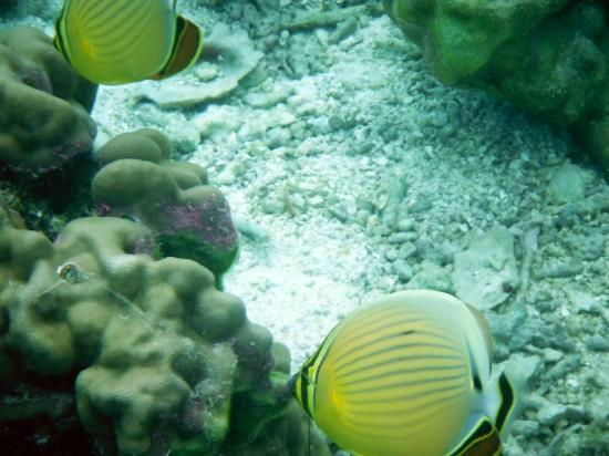 Vahine Island Resort & Spa: some of the beautiful fish around the island